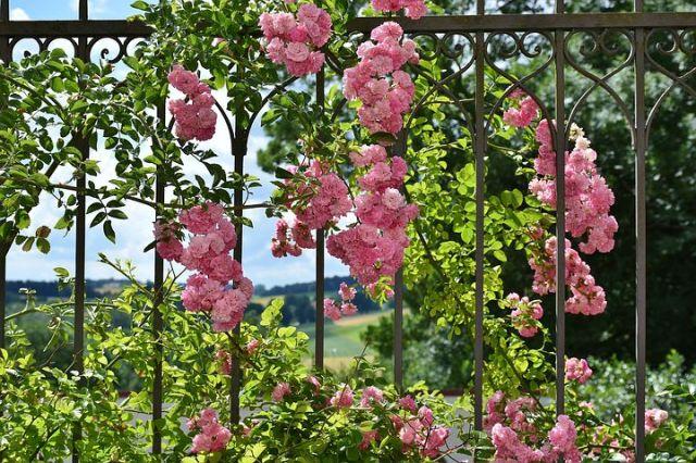 rose-2456080__480